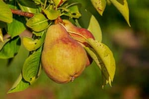 Can I Graft An Apple To A Pear?