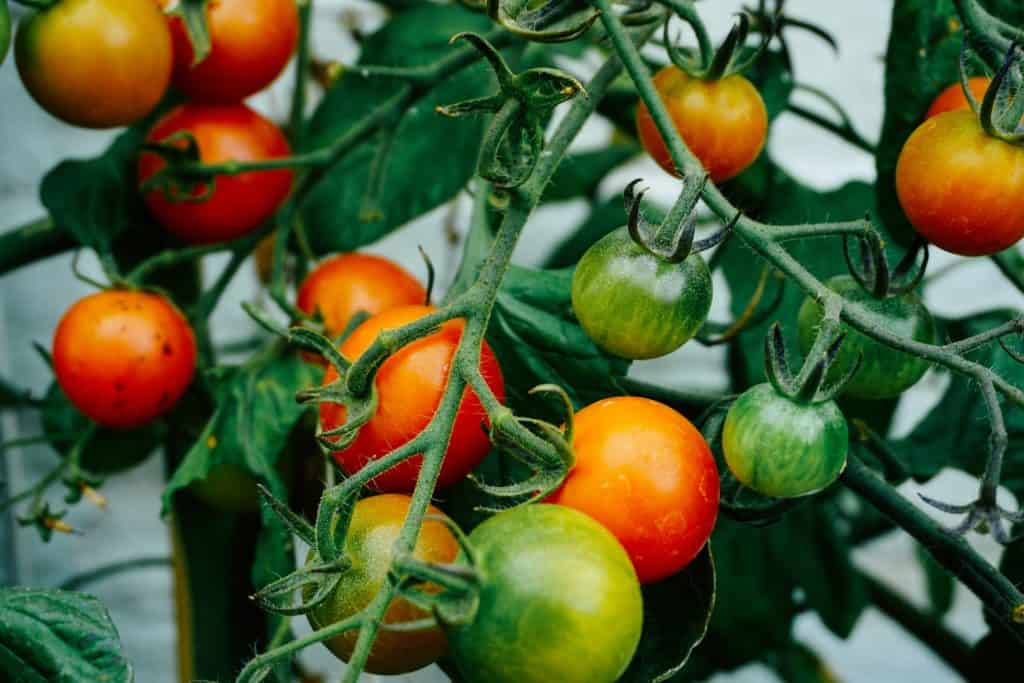 Tips in Growing Vegetable Patches