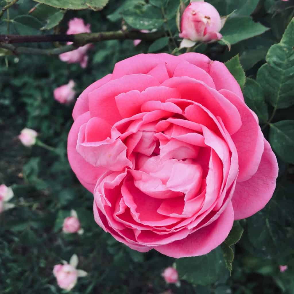 Rose Plants Growing Tips  For Your Backyard